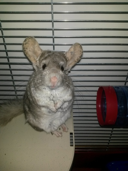 fluff, curious, chinchilla, pet, marija mrvošević